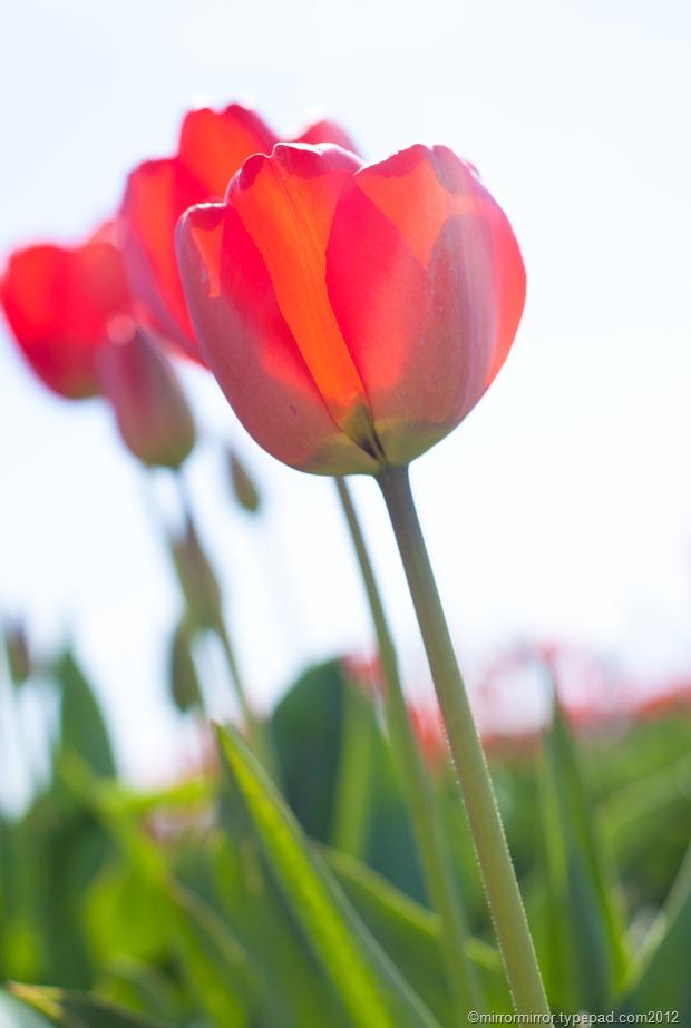 washington-tulip-festival (2 of 17)