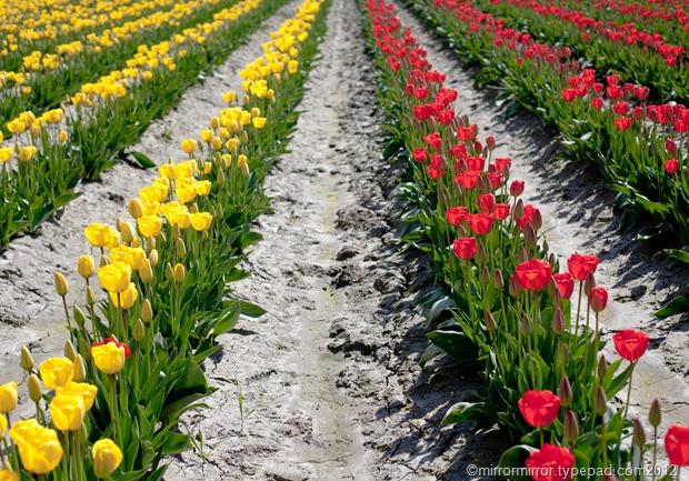 washington-tulip-festival (4 of 17)