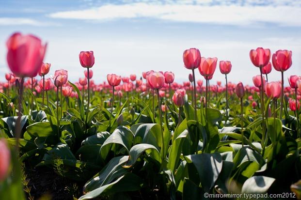 washington-tulip-festival (1 of 1)-2