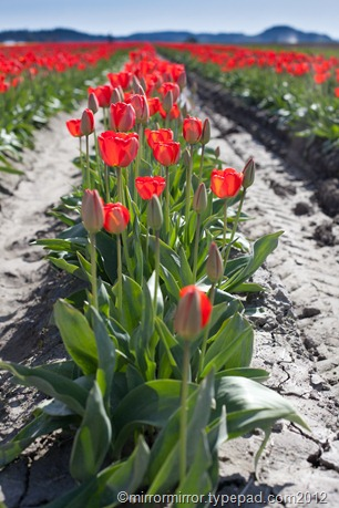 washington-tulip-festival (1 of 17)