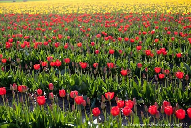 washington-tulip-fest (1 of 1)-3
